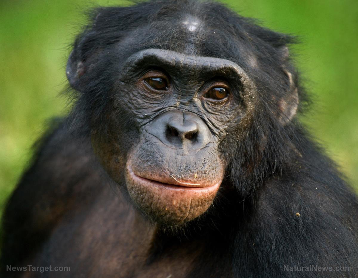 Chimpanzee-Face-Ape