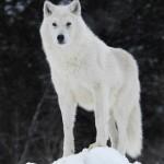 Arctic_wolf_by_Arctic_Wolf_Alpine.jpg