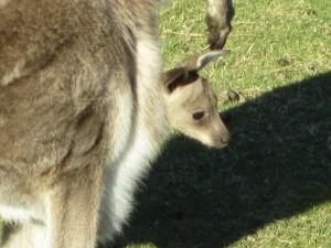 Kangaroos7