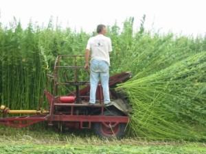 HarvestingHemp