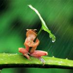 Frog-with-leaf-umbrella