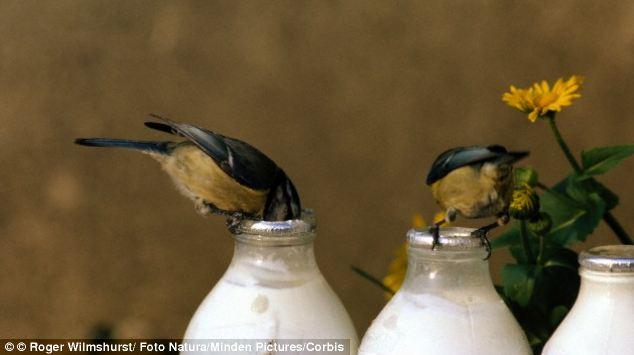 blue-tits-birds