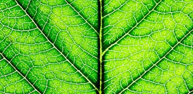chlorophyll-leaf