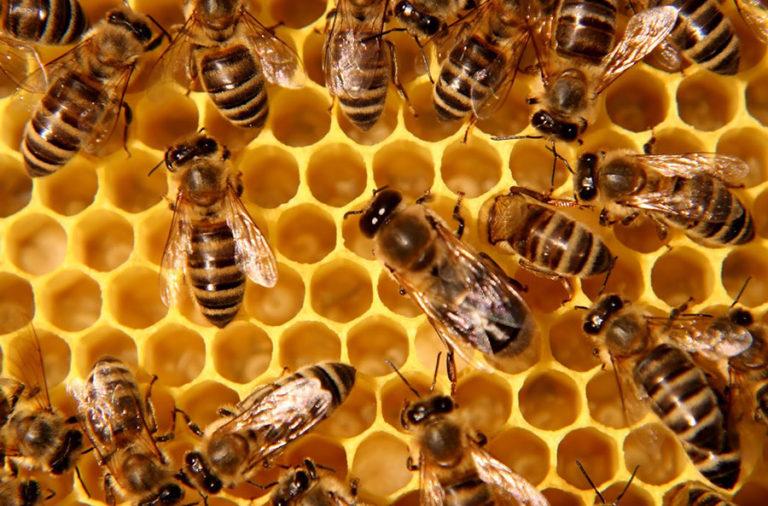 honey_bees_1-768x506