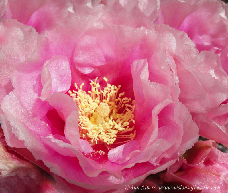 pinkcactusflower1