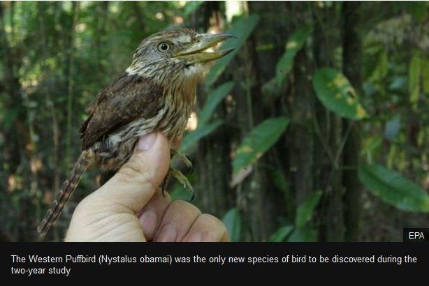 western puff bird