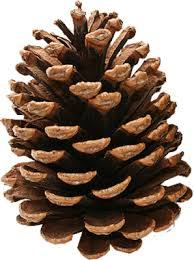 06b59-pinecone2